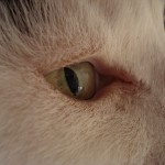 tinkers cats eye